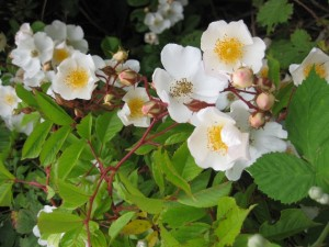 Wild Roses In Late June